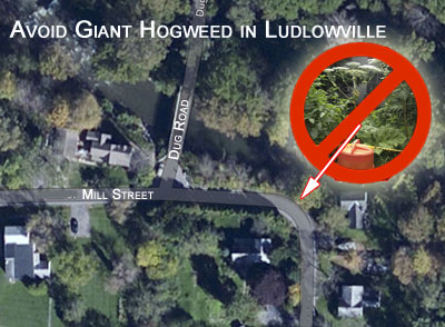 Avoid Giant Hogweed If You See It But Report It So It Can Be Safely Removed